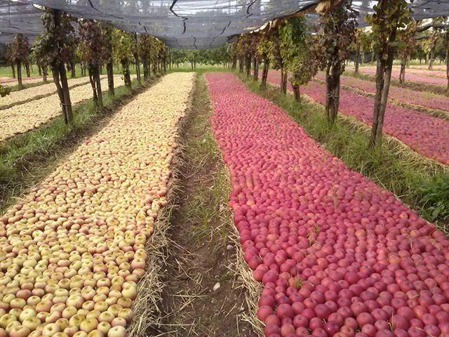 Mela annurca: proprietà e studi scientifici sulla varietà di mela che regola il colesterolo e rafforza i capelli.